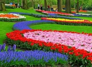 walking in a fantastic tulips garden