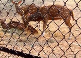 dear in zoo