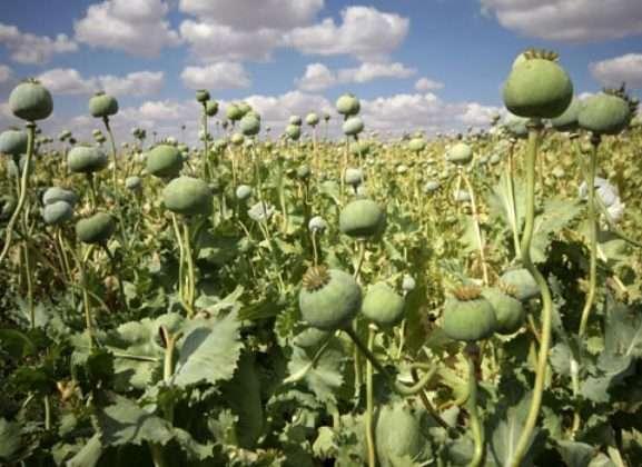 opium- Afoo