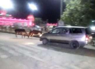 bull fight in front of modi car