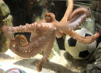 true prediction japan octopus was cut and eaten