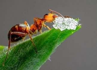 ant steal diamond