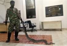 20 pythons caught in bkc in last 9 months