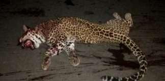 leopard accidental deaths in junnar