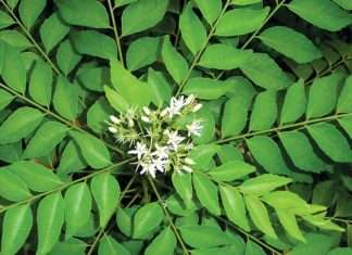 benefits of eating curry leaves