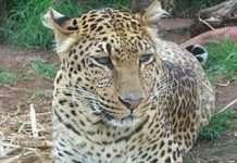 leopard fall in well