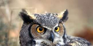 Telangana Assembly elections 2018: Politicians Using the owls to win elections in Telangana