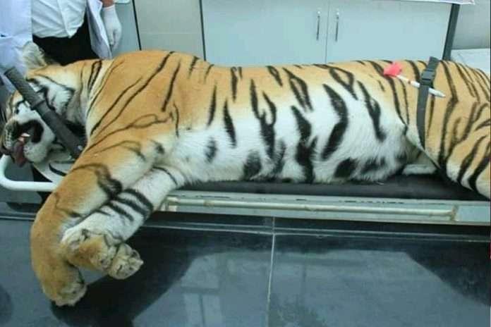 avani tigress