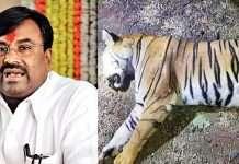 t1 tigress and sudhir mungantiwar