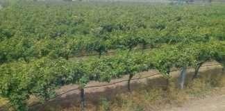 nashik grapes farm