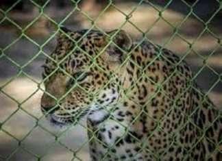 The leopard entered a poult
