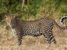 Leopard cached at Pune