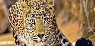 Girl killed in leopard attack at Babhaleshwar