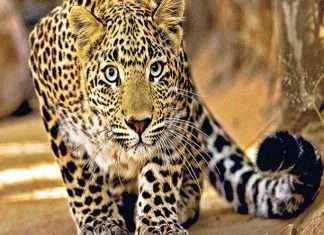 leopard enter in korum mall in thane