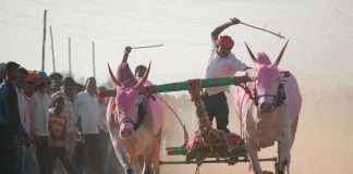 peoples behave inhuman with bull in bull race at Ambernath