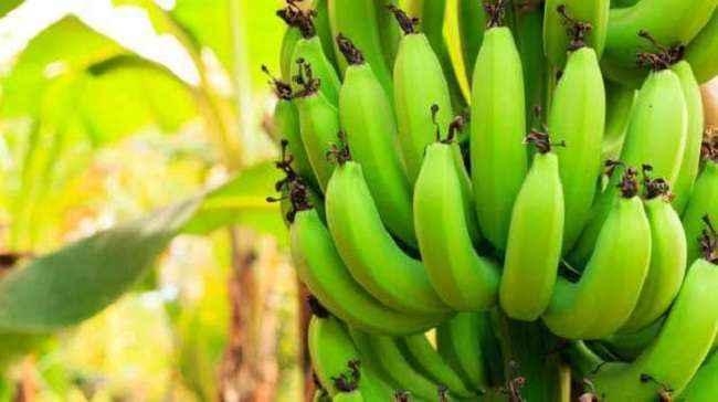Unbelievable benefits of raw bananas