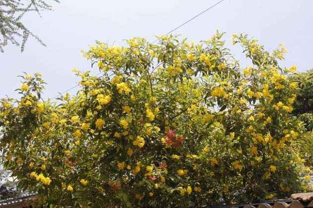 ticoma flower