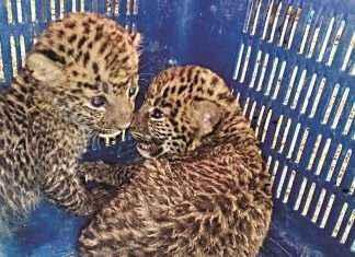 Leopard_Calf