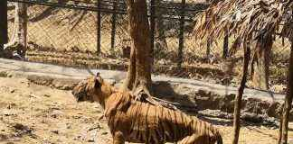 yash tiger death due to cancer at sanjay gandhi national park