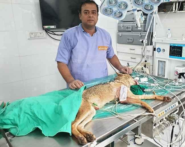Successful surgery on injured fox found in Vikhroli