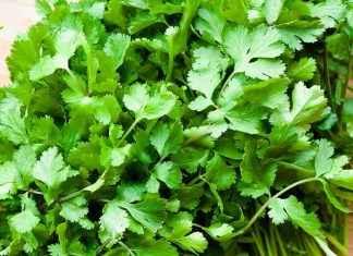 cilantro-coriander