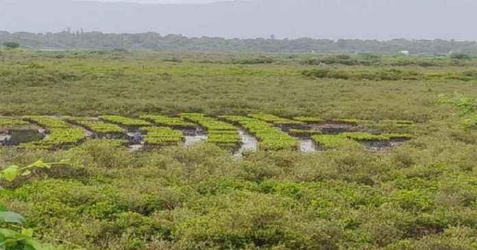 mangrooves.webp 1