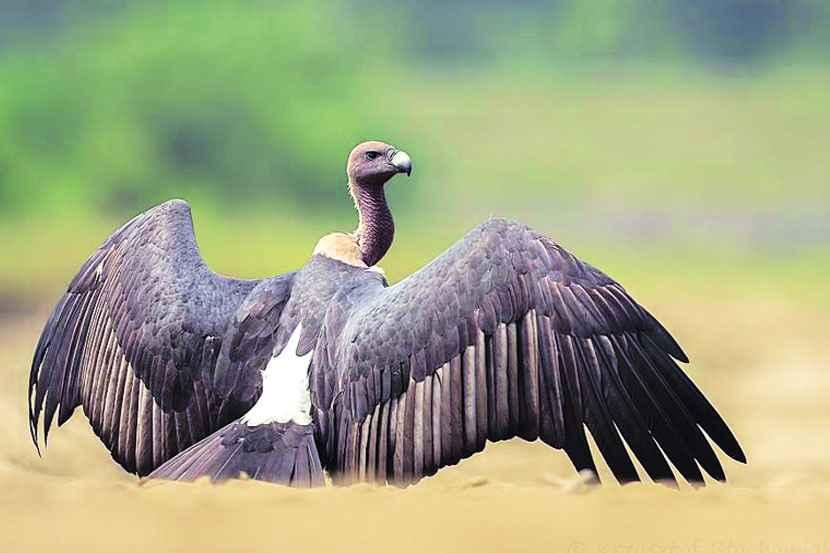 गिधाड