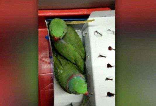 12 parrots produced in patiala court