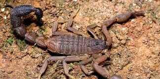 Scorpion bite 59 people in Ratnagiri