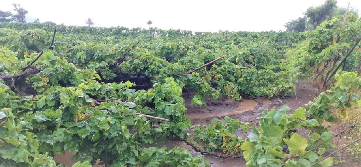 Grapes affected