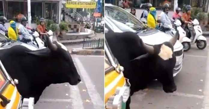 cow obey traffic rules in preity zinta viral video animals better than humans says internet