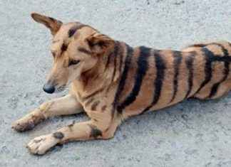 dog painted like tiger