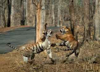 maya tigress