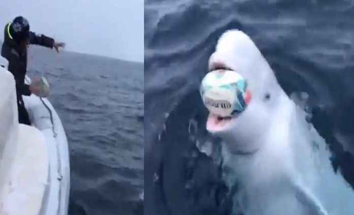 Man plays Fetch with Beluga whale in delightful viral video. Do focus on the powerful message
