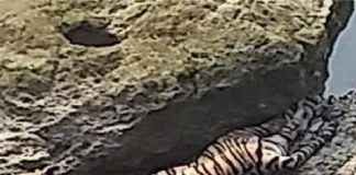 tiger stuck between two stones in shivna river of chandrapur district was dead in the morning