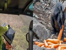 Carrots and sweet potatoes airdropped for animals during Australia bushfires. Thank you, says Internet