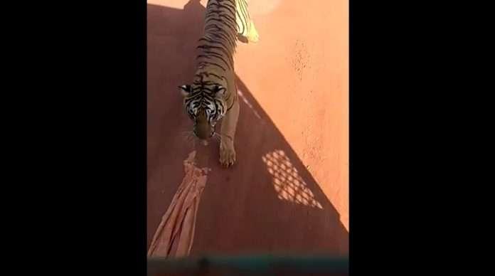 tiger in raipur jungal safari