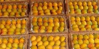 konkan mango alphanso