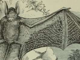 why bat caused corona