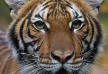 tiger corona positive