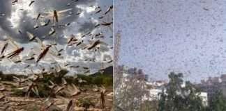 Locust Swarm attack