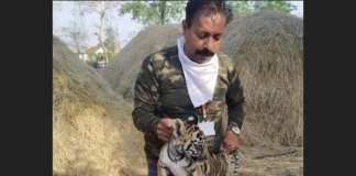 corona test of baby tiger in chandrapur