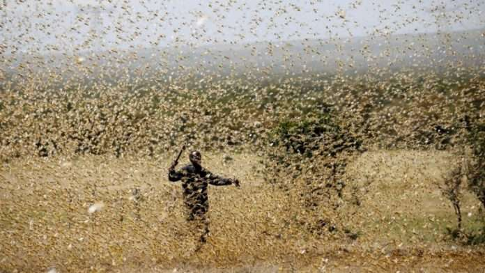 national locusts attack nearly 10 lakhs locusts from pakistan intrude in india state