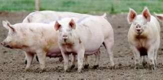 African Swine Flu reaches India; 2,500 pigs died in Assam