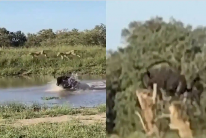 survival of the fittest video when lions attack on a buffalo viral video