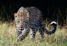 New Concept to seize Leopard
