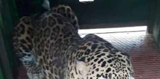 Leopards captured in Chincholi
