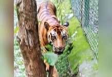 sanjay gandhi tiger died due to cancer