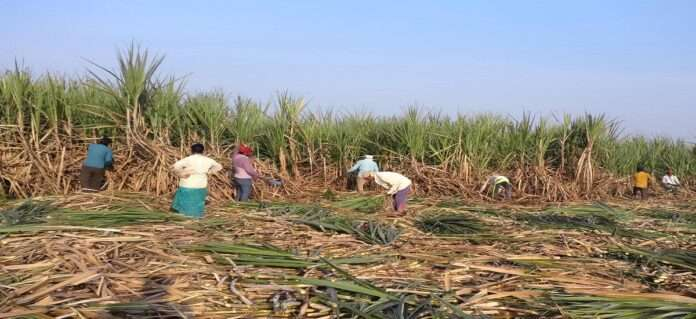 sugarcane women workers
