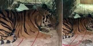 rt 1 tiger captured